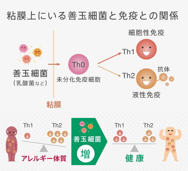 粘膜上にいる善玉細菌と免疫との関係